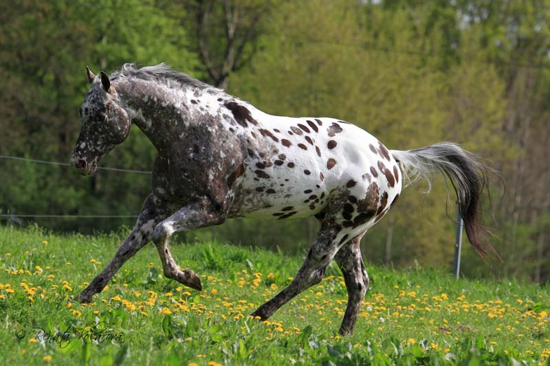 Appaloosa IMA LEGAL IMPACK