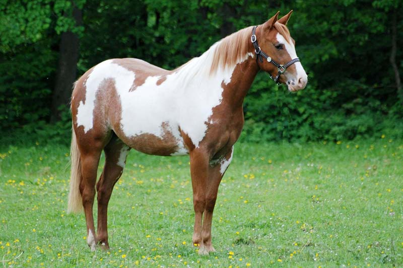 PAINT HORSE MEDDY SHINING BAR